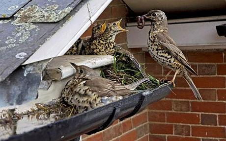 Protecting the nest and her chicks.  Photo: SOLENT