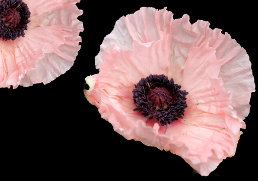 Sue's Pink Poppies