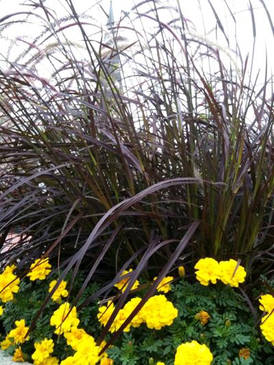Tall red grass